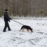 Snow poses no problem for this dog on his second day of tracking