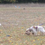 By the time the dog is in the open field, he will stay on the track and locate articles easily