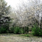 Serviceberry blooming in spring