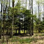 Hemlocks in the eastern woods