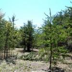 Mixed pine woods