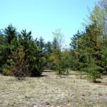 Open field with scattered mixed pine