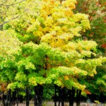 Yellow and green stand of maples