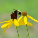 oct flying bee