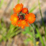 orange hawkweed 2